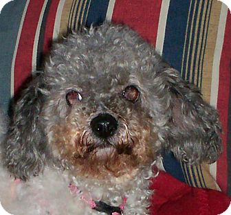 Poodle (Miniature) Dog for adoption in Sullivan, Missouri - Phoebe