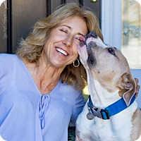 American Staffordshire Terrier/English Bulldog Mix Dog for adoption in Campbell, California - Dozer