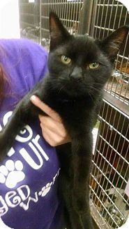 Domestic Shorthair Kitten for adoption in South Bend, Indiana - Midnight