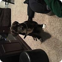 Adopt A Pet :: Boone - MCLEAN, VA