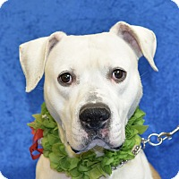 Pit Bull Terrier Mix Dog for adoption in Jackson, Michigan - Mystery
