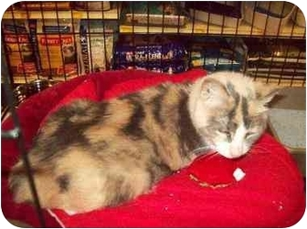 Calico Cat for adoption in Orlando, Florida - Portia Bella