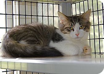 Domestic Mediumhair Kitten for adoption in Victor, New York - Andrew