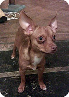 Chihuahua/Miniature Pinscher Mix Puppy for adoption in Brooklyn, New York - Caesar