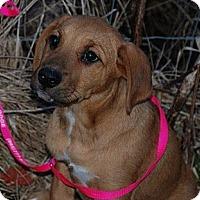 Adopt A Pet :: Toffee - Albany, NY