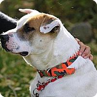 American Bulldog Mix Dog for adoption in Fresno, California - JUMBO