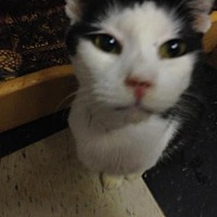 Domestic Shorthair Cat for adoption in Fresno, California - Aiden