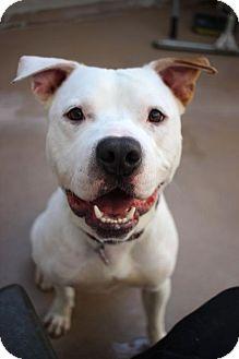 Pit Bull Terrier/American Bulldog Mix Dog for adoption in San Francisco, California - Joker