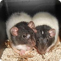 Adopt A Pet :: THE 2 LONG ISLAND SISTERS! - Philadelphia, PA