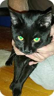 Domestic Shorthair Kitten for adoption in Rockford, Illinois - Venus