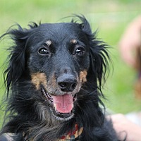 Whippet Mix Dog for adoption in Henderson, Nevada - Pepper