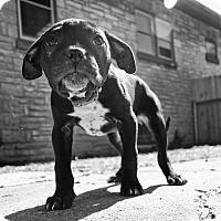 Adopt A Pet :: Tia - West Allis, WI