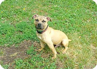 Pit Bull Terrier/Bulldog Mix Dog for adoption in Marion, Indiana - HUDINI