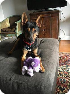 Rat Terrier Dog for adoption in Washington, D.C. - Gamble