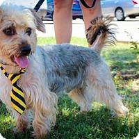Adopt A Pet :: Ollie (aka Scotty) - Wylie, TX