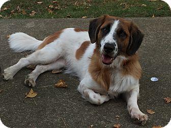 Golden Retriever/Basset Hound Mix Dog for adoption in Staten Island, New York - Carter