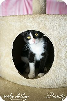 Domestic Shorthair Kitten for adoption in Columbia, Tennessee - Beauty