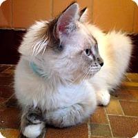 Siamese Kitten for adoption in Palo Alto, California - Allegra