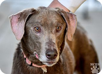 Weimaraner/Labrador Retriever Mix Dog for adoption in Martinsville, Indiana - Peyton