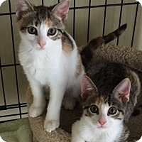 Adopt A Pet :: Maggie (kitten) - West Palm Beach, FL