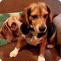 Adopt A Pet :: Zuki - sweetheart - Houston, TX