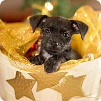Adopt A Pet :: Darby - Little Rock, AR