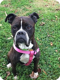 Boxer Dog for adoption in Leonardtown, Maryland - Ruby (Courtesy Post)