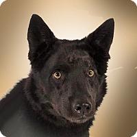 Adopt A Pet :: Midnight - Prescott, AZ