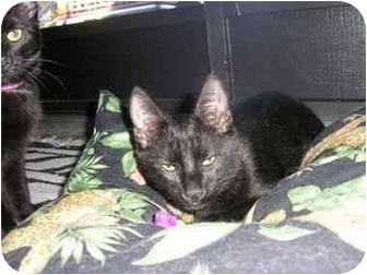 Domestic Shorthair Cat for adoption in New Port Richey, Florida - Midnite Momma