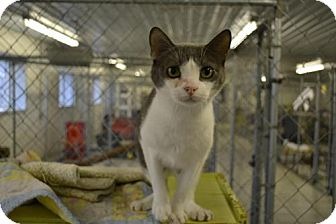 Domestic Shorthair Cat for adoption in East Smithfield, Pennsylvania - Brant