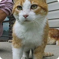 Domestic Shorthair Cat for adoption in Columbus, Ohio - Ruben
