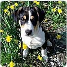 Adopt A Pet :: Shea