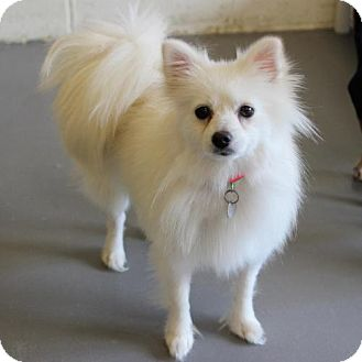 American Eskimo Dog Dog for adoption in Atlanta, Georgia - Zima