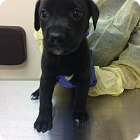 Adopt A Pet :: Darth (Star Wars Pup) - Cumming, GA