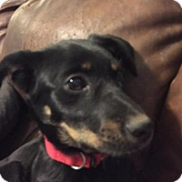 Adopt A Pet :: Idina - Christiana, TN