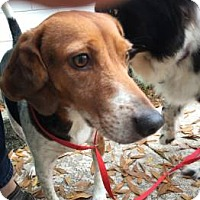 Adopt A Pet :: Chipper Ann - Tampa, FL