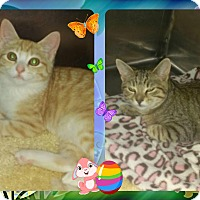 Adopt A Pet :: Padgett Kittens - Corinth, NY