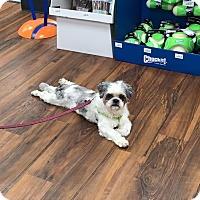 Adopt A Pet :: Chewey - Harmony, Glocester, RI