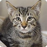 Adopt A Pet :: Toulouse - Dublin, CA