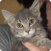 Adopt A Pet :: Darcy Kitten - Germantown, MD