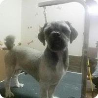 Adopt A Pet :: Smurf - Garwood, NJ