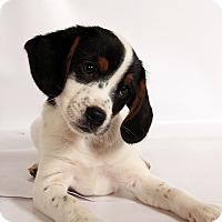 Adopt A Pet :: Tula Beagle Mix - St. Louis, MO