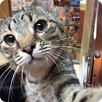 Domestic Shorthair Cat for adoption in Morganton, North Carolina - Luka