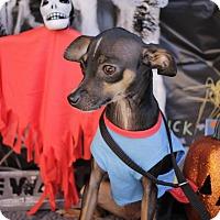 Adopt A Pet :: Tiny Bit - San Antonio, TX