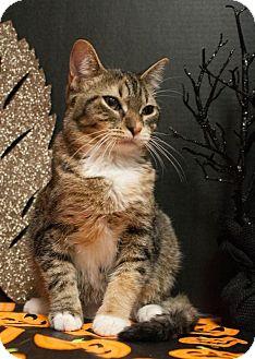 Domestic Shorthair Kitten for adoption in Muskegon, Michigan - Dixie