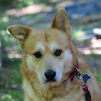 Husky/Chow Chow Mix Dog for adoption in Suwanee, Georgia - Rock