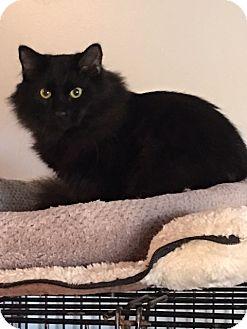 Domestic Mediumhair Kitten for adoption in Alpharetta, Georgia - Fuzzy
