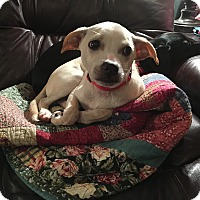 Chihuahua/Beagle Mix Puppy for adoption in Newport, Kentucky - Eddie Vedder