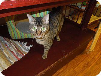 Domestic Shorthair Cat for adoption in Medina, Ohio - Jax