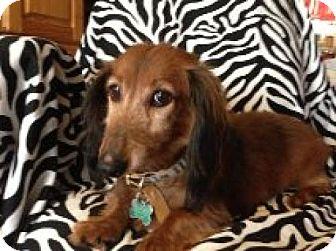Dachshund Dog for adoption in Atascadero, California - Siler